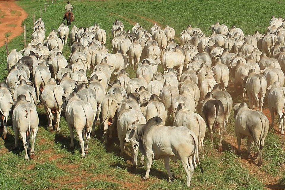 6ea5e29f473 Último leilão virtual da CFM venderá 250 touros Nelore CEIP
